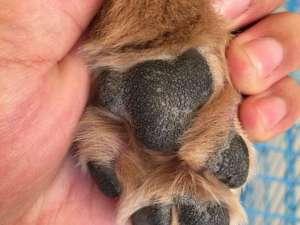 怎么正确的护理狗狗脚部